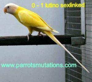 lutino-2-300x267